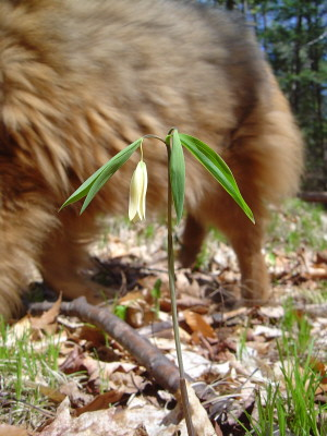 Reggie with bellwort