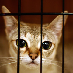 Let me out please, I wanna play (babykailan) Tags: cat canon singapore 300d  catshow singapura ffss ef50mmf14usm otherpeoplescats ffsscatshowjul07