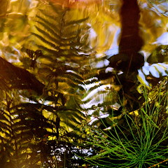 No reflection on ferns reflection! (Denis Collette...!!!) Tags: canada reflection art painting photography photo photographie rivire peinture reflet photograph qubec ferns fougres photographe deniscollette wildriver