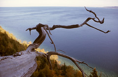 Cliff Sentinel (peterkelly) Tags: old cliff ontario canada tree film forest ancient horizon georgianbay canadian naturereserve cedar northamerica northern brucepeninsula eastern twisted gnarled lionshead oldgrowth niagaraescarpment whitecedar stunted thujaoccidentalis