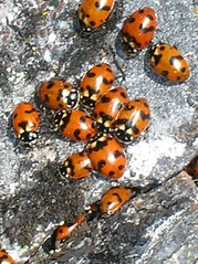 Ladybugs at the top of Big Craggy