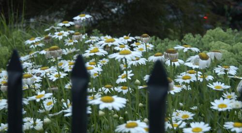 Flowers, Annapolis 34372