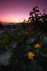 Tacoma Dome sunrise (TroyMasonPhotography) Tags: flower sunrise garden landscape washington cityscape purple sunflower tacoma tacomadome 1on1 aplusphoto