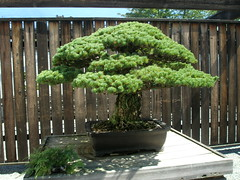 pine bonsai care