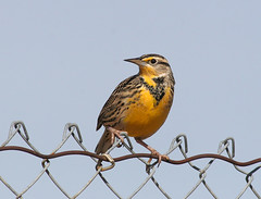 Bird on a Wire Meadowlark 6613 (casch52) Tags: california county bird 20d northerncalifornia yellow canon fence photo wire song meadow auburn 300mm photograph sparrow placer lark songbird meadowlark placercounty rocklin 14x f4l abigfave flickrdiamond explorer424