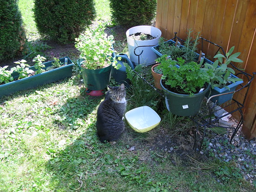 MF at his water dish in the herb garden