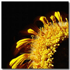 sunny (EssjayNZ) Tags: sun flower sunshine yellow tag3 taggedout photoshop tag2 tag1 sunny gerbera blackground daisy dried dying essjaynz drying 2007 blueribbonwinner flowerscolors interestingness402 i500 taken2007 fasttag sarahmacmillan