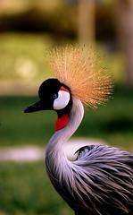 Crowned Crane (BALUCHI) Tags: animals bahrain nikon areen d80 superaplus aplusphoto superhearts