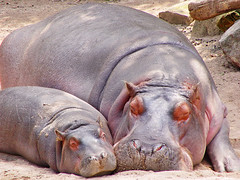 Mother hippo and calf (Tambako the Jaguar) Tags: sleeping baby cute animal zoo mother hippo hippopotamus hanover calf hippopotamusamphibius avisittothezoo photofaceoffwinner naturesbabies naturessuperstarbaby pfosilver