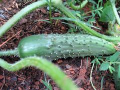cucumber_6_28_2007