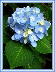 Hydrangea macrophylla 'Endless Summer' in clear blue from our garden - Shot July 6, 2007! As it matures, color changes to bluish-lavender as seen in image at the bottom, taken a week later (July 13)