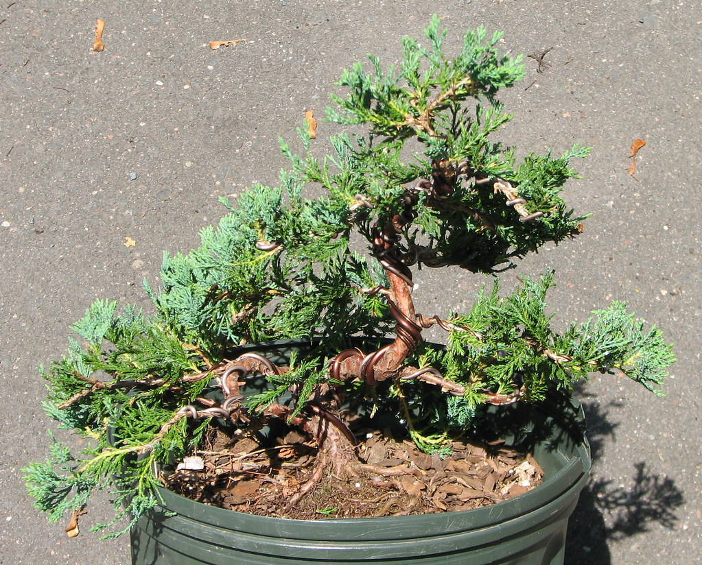 Blue Rug Juniper from the front