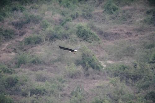 Uganda - QENP Fish Eagle Got a Fish
