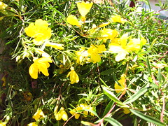 Oenothera African Sun