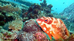 Grouper at Koh Tao Island, Thailand (_takau99) Tags: ocean trip travel sea vacation holiday fish uw nature water topv111 coral thailand lumix topv555 topv333 marine asia southeastasia underwater wildlife topv444 dive july scuba diving topv222 panasonic thai samui tropical scubadiving tao kohtao kotao 2007 grouper gulfofthailand fx30 greenrock  takau99 dmcfx30 lumixfx30