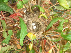Bird nest in hanging basket of begonias~Seattle area
