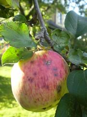 vanaema õunapuu