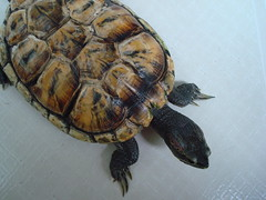 Clever pet ( 1995 to 23rd April 2013 ) (linkway88) Tags: pet moving intelligent terrapin suntanned articulate followme hardshell veryfriendly friendlycreature greenvege lovetoeatcorn twentycentscoin movefreely cleverpet1995to23rdapril2013