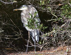P2200502 YOU LOOKIN' AT ME ??? (Frozen in Time photos by Marianne AWAY OFF/ON) Tags: bird nature birds searchthebest wildlife national 1001nights inspire greatblueheron virgina refuge nationalwildliferefuge ardeaherodias chincoteagueisland blueribbonwinner friends~ supershot addictedtoflickr supershots nationalgeographicwannabes mywinnerstrophy platinumphoto anawesomeshot isawyoufirst blueribbonphotography citritbestofyours newacademy platinumphotograph platinumphotography goldstaraward dragongoldaward birdsinsideandoutside personalbestpreservingmeaningfulmoments themicarttttworldphotographyawards nationalgeographiswannabes