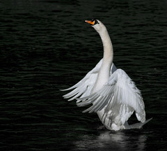 Swan (nellus72) Tags: white reflection water canon iso100 swan wings 300mm aberdeen 7d f56 flap 13200 dyce riverdon