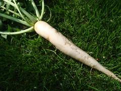 Rettich Mijn eerste rettich oogst!