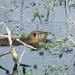 Louisiana nutria swimming