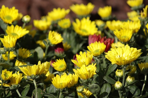 Chrysanthemums cluster