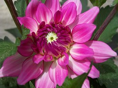 dahlia (Little Grey) Tags: pink dahlia flowers flores flower catchycolors flora blossom brightcolors flowerpower dahlias floraandfauna thinkpink flowerpix pinkflowers flowergarden macroflowers colorandcolors sayitwithaflower fantasticflowers flowercloseups colormyworld pinkthink ilovepink iloveflowers flowerpictures pinkdahlia fotoclube flowerphotography flowersflowersflowers flickrsbest flowersinmacromode anyflower macroandmacros floweraddicts picturesofflowers flowersgalore colorphotoaward robsflowers macromacromacro fabulousflowers plantportraitsflickred flickrforeveryone picturepages perfectionaward flowersbudsseeds colorsclub bloomingbeauty awesomeflowers flowerez pinkdahlias