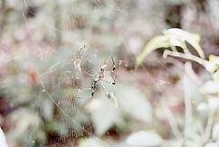 Golden Silk Spider (Nephila clavipes)