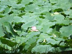 Hasuikebori Lotus Moat