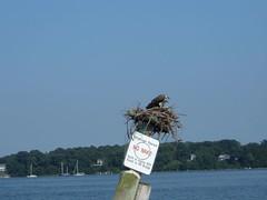 Fledgling Ospreys