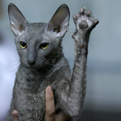 and then the Vulcan held up her trained cat to salute. (Tomi Tapio) Tags: startrek closeup cat paw helsinki eyes feline ears curly personalfavorite held rex claws catshow cornishrex devonrex kissa notmycat canonef85mmf18usm mywinners bestofcats vulcansalute