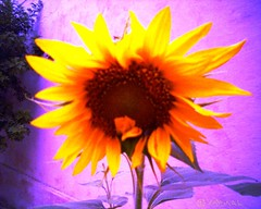 Sunflower نوّار الشمس