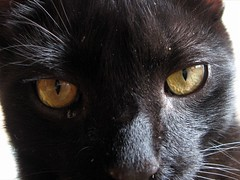 Les yeux du chat noir (Vlocia) Tags: macro eyes chat noir kitty yeux powershotsd700is p1f1