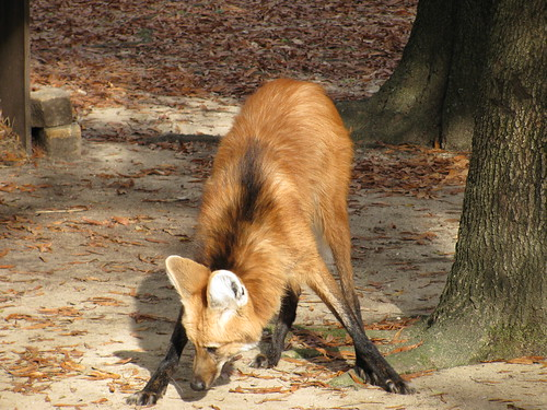 Maned Wolf by victorandcarrie