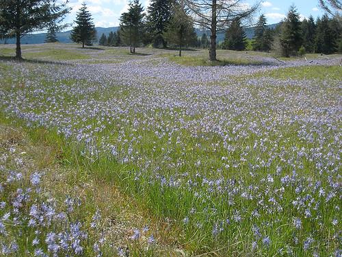 Camas blue hills
