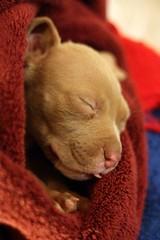 Moleman (Sara Bellum) Tags: dogs pitbulls moleman rescues babydogs