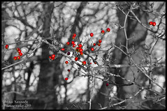 Cherry Bush / 233 of 365 (Adam Kennedy Photography) Tags: red bw white black colour tree adam project cherry bush nikon and 365 kennedy vr selective 18105mm d7000