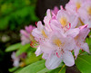 Azalea in pale pink (McPig) Tags: pink plant flower nature vancouver ubc azalea naturesfinest d40
