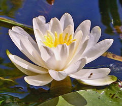 Water Lilly (Kathy~) Tags: white green bravo michigan lilly cw waterlilly bigmomma gamewinner superaplus aplusphoto northlakewater favescontestwinner photofaceoffwinner pfogold challengew