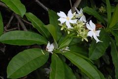 夾竹桃科 Cerbera manghas L. 1753 海檬果 96特生