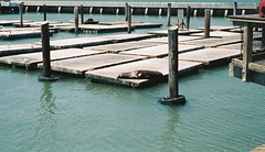 Pier 39 (The Disillusioned One) Tags: pier seal pier39 sealion migration 39