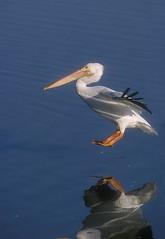 American White Pelican (Eleanor Briccetti) Tags: bird birds americanwhitepelican pelecanus pelecanuserythrorhynchos