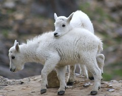 Brothers in love (Carplips) Tags: love kids montana glacier goats glaciernationalpark indecent improper