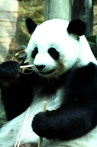 Panda Bear:Chiang Mai Zoo