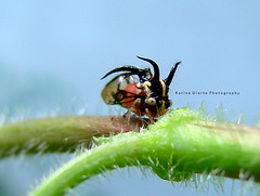 Cyphonia trifida (Karina Diarte de Maidana) Tags: insect paraguay membracidae homoptero specinsect cyphoniatrifida membracido karinadiarte