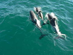Pod of Dolphins in Algeciras Bay (amateur_photo_bore) Tags: sea pod mediterranean screensaver dolphin dolphins oil refinery pods delfines atoz algecirasbay bahadealgeciras anawesomeshot gibraltarbay bayofalgeciras