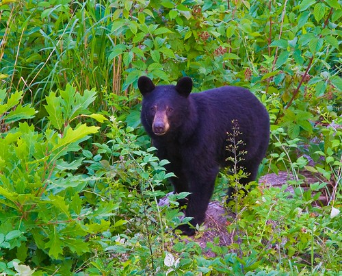 black bear - Shenandoah NP - 7-01-07 by Tucapel.