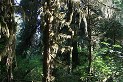 hoh rain forest olympic nat'l parkissa
