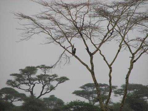 Bateleur Eagle...practically a silhouette!
